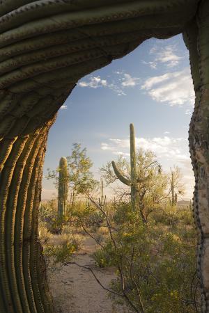 Saguaro Forest Saguaro National Park, Arizona, USA
