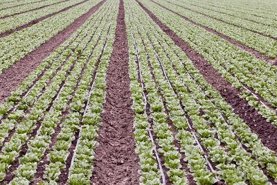 Neat Rows of Organic Lettuce on Farm, Soledad, California, USA