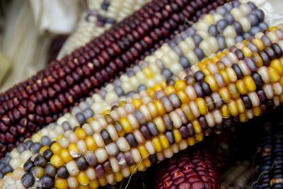Fall Harvest Colorful Indian Corn, California, USA