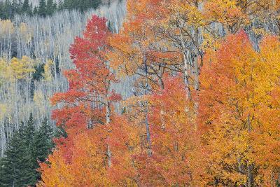 Aspen Trees in Autumn Colors, San Juan Mountains, Colorado, USA