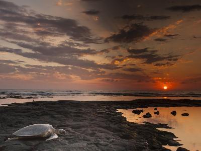 Green Sea Turtle at Sunset, Honokohau Bay, Hawaii, USA