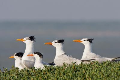 Royal Tern (Sterna Maxima) Nesting in a Colony, Texas, USA