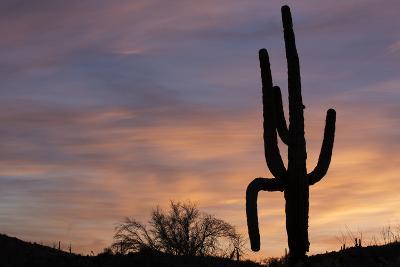 Saguaro at Sunset, Tonto National Forest Arizona, USA