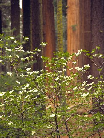 Giant Sequoias and Blooming Dogwood, Sequoia NP, California, USA