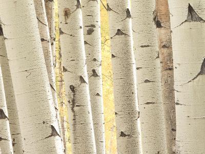 Aspen Trees, White River National Forest Colorado, USA