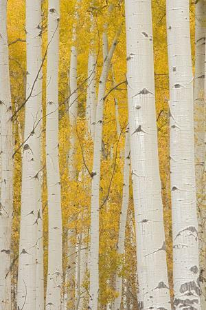 Aspen Trees, White River National Forest Colorado, USA