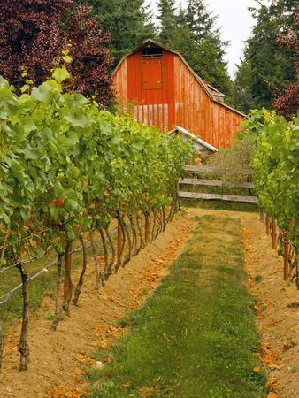 Red Barn at a Winery and Vineyard on Whidbey Island, Washington, USA
