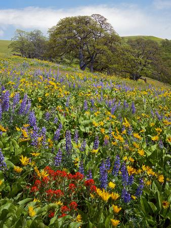 Wildflowers, Columbia River Gorge National Scenic Area, Washington,Usa