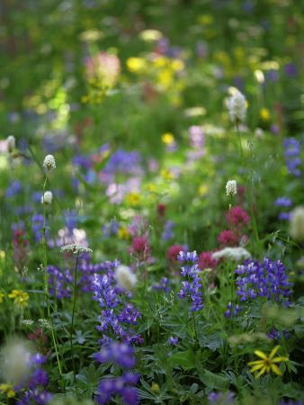 Summer Wildflowers in Mt Rainier National Park, Washington