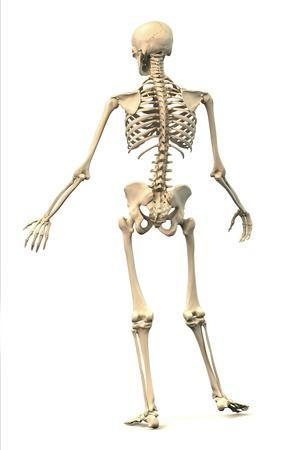 Male Human Skeleton in Dynamic Posture, Rear View