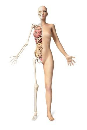 Half Cutaway View Showing Skeleton and Internal Organs of a Female