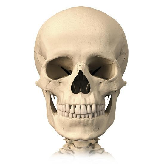 Anatomy Of Human Skull Front View Prints At Allposters