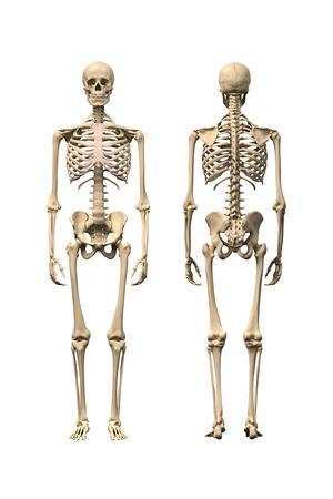 Anatomy of Male Human Skeleton, Front View and Back View