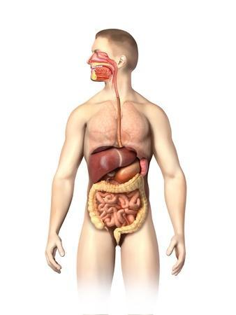Anatomy of Male Digestive System and Internal Organs
