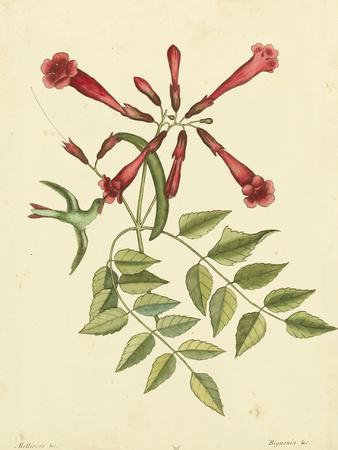 Catesby Bird and Botanical VI