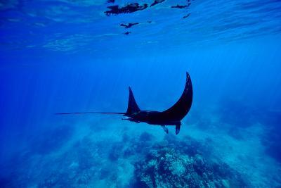 A Manta Ray Glides over a Reef Near the Surface of a Tropical Ocean