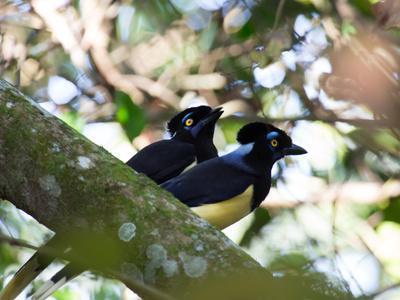A Pair of Plush-Crested Jays, Cyanocorax Chrysops Near Iguazu Falls