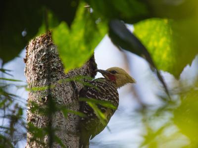 A Blond-Crested Woodpecker, Celeus Flavescens, Pecks a Tree by Iguazu Falls