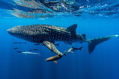 A School of Suckerfish, Sharksuckers and Cobia Follow a Whale Shark
