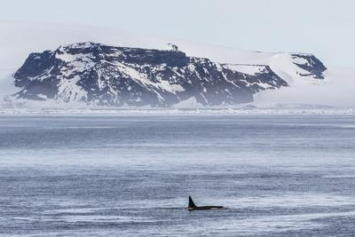 A Pod of Big Type B Killer Whales (Orcinus Orca) in Antarctic Sound