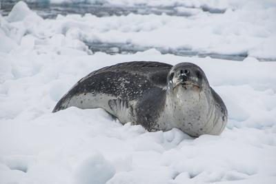 Leopard Seal (Hydrurga Leptonyx), Enterprise Island, Antarctica, Polar Regions