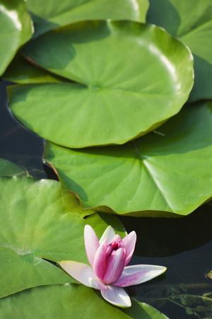 Water Liliy at Yuanmingyuan (Old Summer Palace), Beijing China, Asia