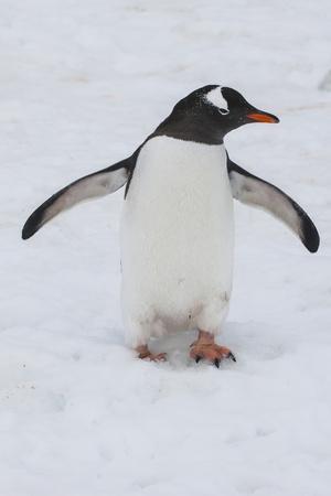 Adelie Penguin (Pygoscelis Adeliae), Port Lockroy Research Station, Antarctica, Polar Regions