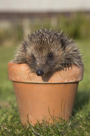 Hedgehog (Erinaceus Europaeus), in Plant Pot, Captive, United Kingdom, Europe