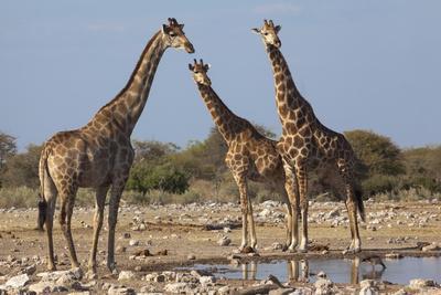 Giraffe (Giraffa Camelopardalis) Gathered at Waterhole, Etosha National Park, Namibia, Africa