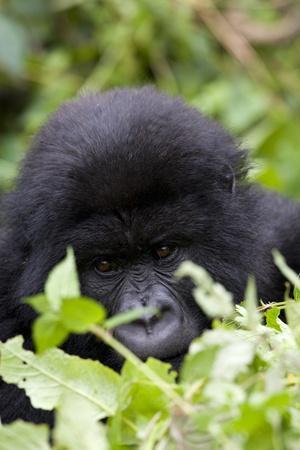 Mountain Gorilla (Gorilla Gorilla Beringei), Kongo, Rwanda, Africa