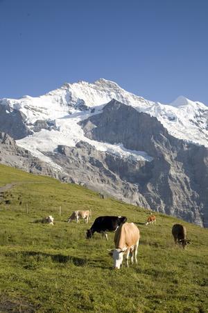 Jungfrau, Kleine Scheidegg, Bernese Oberland, Berne Canton, Switzerland, Europe