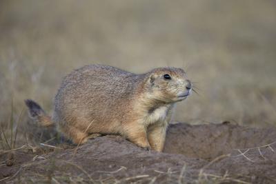 Black-Tailed Prairie Dog (Blacktail Prairie Dog) (Cynomys Ludovicianus)