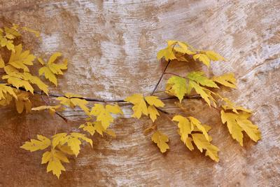 Box Elder (Boxelder Maple) (Maple Ash) (Acer Negundo) Branch with Yellow Leaves in the Fall