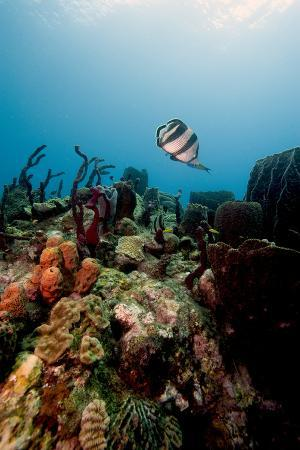 Reef Scene with Banded Butterflyfish (Chaetodon Striatus)