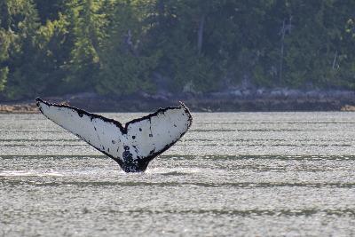 Humpback Whales in Quatsino Sound