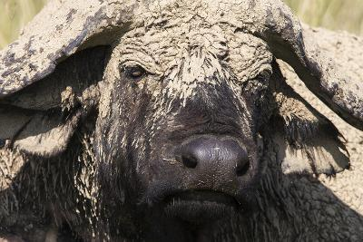 Cape Buffalo (Syncerus Caffer) with Dried Mud