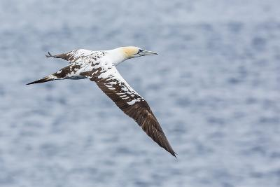 Juvenile Northern Gannet (Morus Bassanus) on the Wing at Runde Island, Norway, Scandinavia, Europe