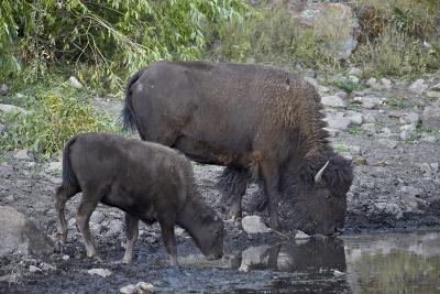 Bison (Bison Bison) Cow and Calf Drinking from a Pond
