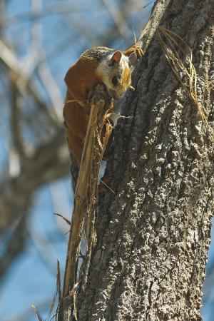 Variegated Squirrel Gathering Nest Material in Tree