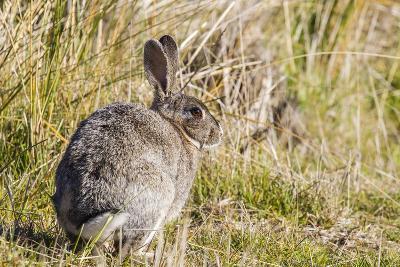 Introduced Adult European Rabbit (Oryctolagus Cuniculus)