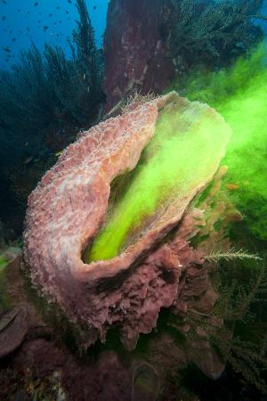 Giant Sponge Showing How it Filters Water with the Use of Dye
