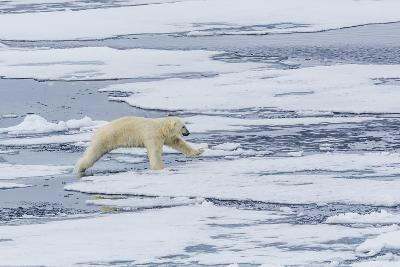 Adult Polar Bear (Ursus Maritimus) on the Ice Near the Sujoya Islands