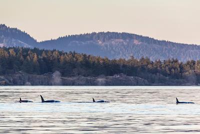 Transient Killer Whales (Orcinus Orca)