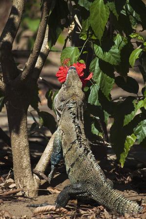 Large Black Ctenosaur or Iguana Negra Eating Red Hibiscus Flower Near Nosara