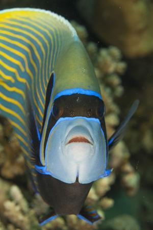 Emperor Angelfish (Pomacanthus Imperator) Close-Up