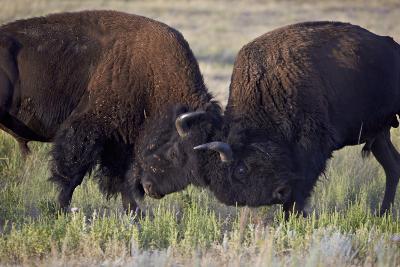 Bison (Bison Bison) Bulls Sparring
