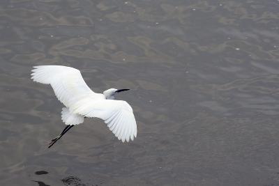 Little Egret (Egretta Garzetta) Flying Low over the Tamsui River Estuary