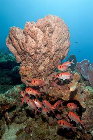 School of Blackbar Soldierfish (Myripristis Jacobus)