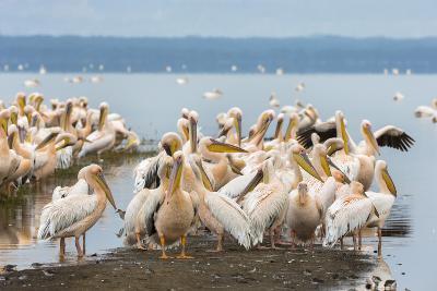 Great White Pelicans (Pelecanus Onocrotalus), Lake Nakuru National Park, Kenya, East Africa, Africa