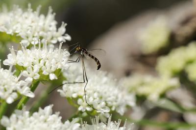 Net-Winged Midge (Apistomyia Elegans) Feeding on Umbel Flowers by an Unpolluted Mountain Stream
